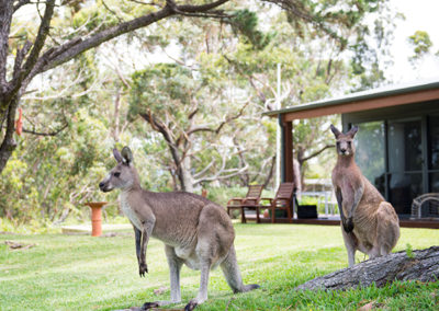 by-the-beach-bnb-sanctuary-point-kangaroos