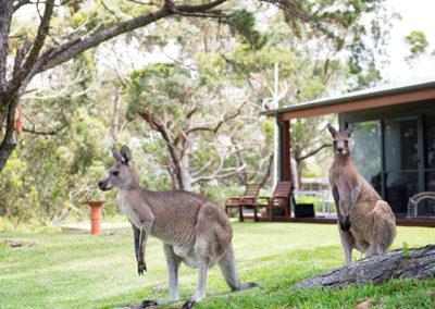 by-the-beach-bnb-sanctuary-point-kangaroos
