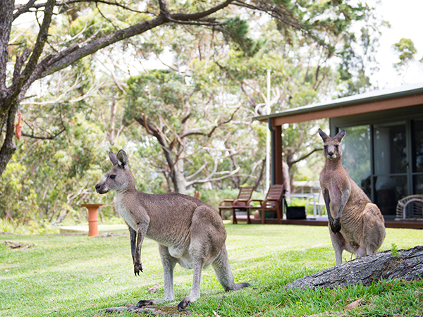 by-the-beach-bnb-sanctuary-point-kangaroo